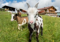Großansicht Junge Ziegen auf der Wiese